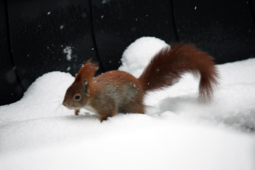 Eichhorn im Schnee