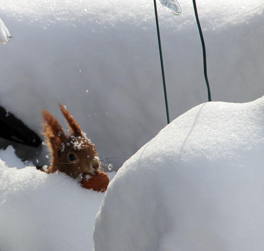 Schnee-Nuss