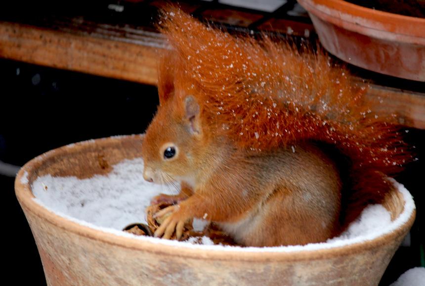 Eichhörnchen im Topf