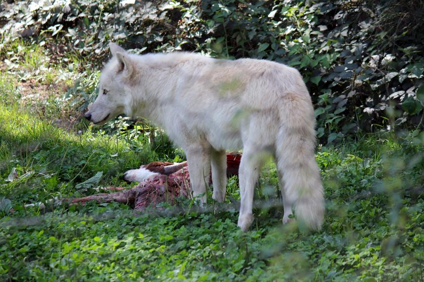 Beutewolf