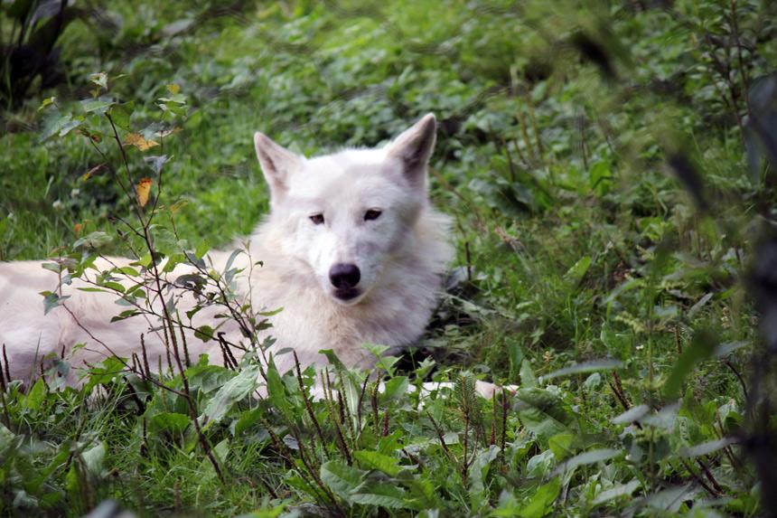 Pausenwolf