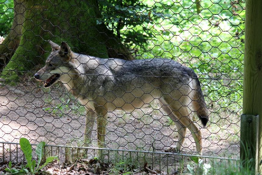 Waldwolf